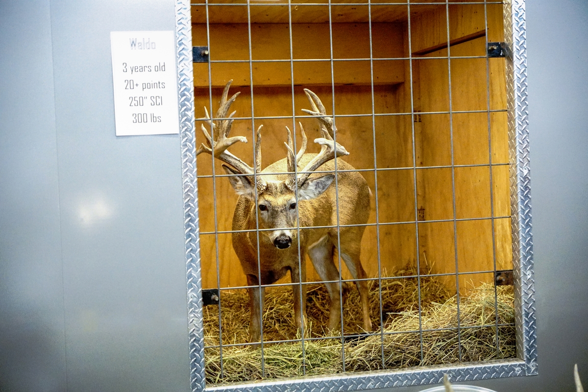 Live whitetail display